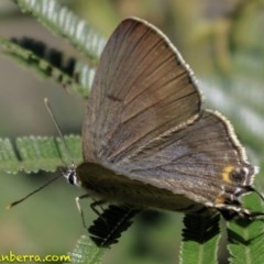 Jalmenus ictinus (Stencilled Hairstreak) at Red Hill Nature Reserve - 16 Dec 2018 by BIrdsinCanberra