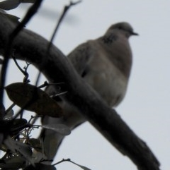 Streptopelia chinensis (Spotted Dove) at Aranda, ACT - 20 Dec 2018 by KMcCue