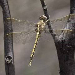 Orthetrum caledonicum (Blue Skimmer) at The Pinnacle - 20 Dec 2018 by AlisonMilton