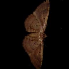 Larentiinae sp. at Brogo, NSW - 21 Dec 2018