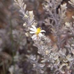 Olearia brevipedunculata (Dusty Daisy Bush) at Namadgi National Park - 25 Nov 1996 by BettyDonWood