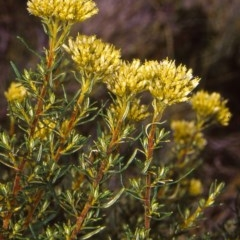 Cassinia monticola at Namadgi National Park - 25 Feb 2006 by BettyDonWood