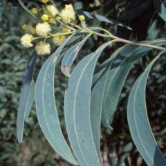 Acacia falciformis (Broad-leaved Hickory) at Tidbinbilla Nature Reserve - 2 Dec 2004 by BettyDonWood