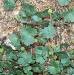 Hydrocotyle algida (A Pennywort) at Tidbinbilla Nature Reserve - 1 Dec 2004 by BettyDonWood