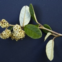 Pomaderris betulina subsp. actensis (A pomaderris) at Paddys River, ACT - 17 Oct 2012 by BettyDonWood