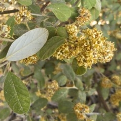 Pomaderris subcapitata at Paddys River, ACT - 17 Oct 2012 by BettyDonWood