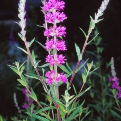 Lythrum salicaria (Purple Loosestrife) at ANBG - 16 Dec 2004 by BettyDonWood