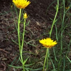 Xerochrysum viscosum (Sticky everlasting) at ANBG - 20 Oct 2000 by BettyDonWood