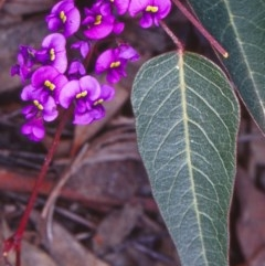 Hardenbergia violacea (False Sarsaparilla) at Black Mountain - 14 Sep 2002 by BettyDonWood