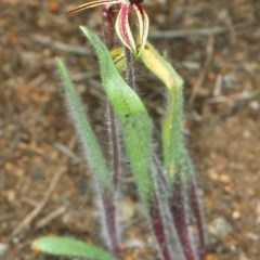 Caladenia actensis (Canberra spider orchid) at Mount Ainslie - 23 Sep 2006 by BettyDonWood