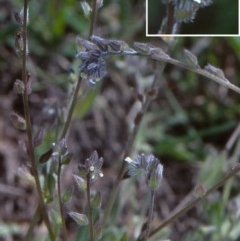 Myosotis discolor (Yellow and Blue Forget-me-not) at Mulligans Flat - 17 Nov 2003 by BettyDonWood