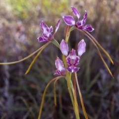 Diuris dendrobioides (Late mauve doubletail) at Tarengo Reserve (Boorowa) - 11 Dec 2005 by BettyDonWood