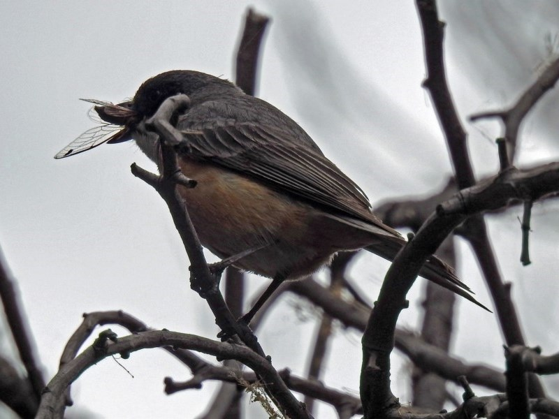 Pachycephala rufiventris at Jerrabomberra Wetlands - 21 Dec 2018