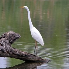 Ardea alba (Great Egret) at Jerrabomberra Wetlands - 21 Dec 2018 by RodDeb