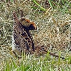 Gallinago hardwickii (Latham's Snipe) at Jerrabomberra Wetlands - 21 Dec 2018 by RodDeb