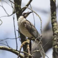 Philemon corniculatus (Noisy Friarbird) at Gossan Hill - 22 Dec 2018 by Alison Milton