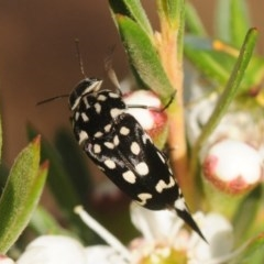 Mordella dumbrelli (Pintail or tumbling flower beetle) at Gossan Hill - 20 Dec 2018 by Harrisi