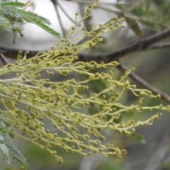 Acacia sp. (Wattle) at Namadgi National Park - 21 Apr 2018 by YumiCallaway