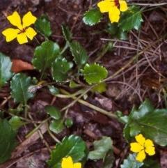 Goodenia hederacea subsp. alpestris at Deua National Park (CNM area) - 9 Feb 1998 by BettyDonWood