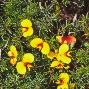 Dillwynia prostrata at Tuross, NSW - 30 Dec 1999