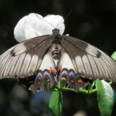 Papilio aegeus (Orchard Swallowtail) at ANBG - 22 Dec 2018 by SandraH