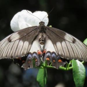 Papilio aegeus at ANBG - 23 Dec 2018