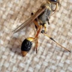 Sceliphron laetum (Common mud dauber wasp) at Greenleigh, NSW - 23 Dec 2018 by LyndalT