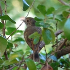 Acanthiza pusilla (Brown Thornbill) at Hughes, ACT - 23 Dec 2018 by JackyF