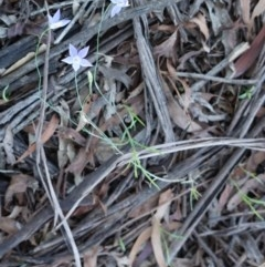 Wahlenbergia sp. (Bluebell) at Deakin, ACT - 23 Dec 2018 by JackyF