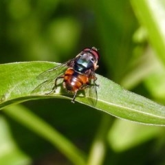 Austalis copiosa (Hover fly) at ANBG - 23 Dec 2018 by RodDeb