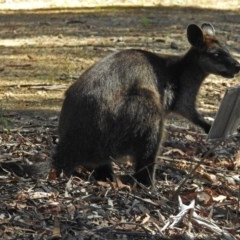 Wallabia bicolor (Swamp Wallaby) at ANBG - 23 Dec 2018 by RodDeb