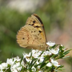 Heteronympha merope (Common Brown) at Mount Taylor - 24 Dec 2018 by MatthewFrawley