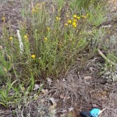 Rutidosis leptorhynchoides (Button wrinklewort) at Attunga Point - 21 Dec 2018 by jpittock