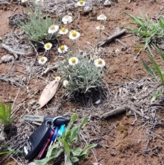 Leucochrysum albicans subsp. tricolor (Hoary Sunray) at Stirling Park - 21 Dec 2018 by jpittock