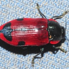 Temognatha variabilis (Variable jewel beetle) at Bugong National Park - 23 Dec 2018 by Harrisi