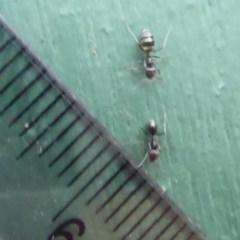 Iridomyrmex sp. (genus) (Ant) at Flynn, ACT - 21 Dec 2018 by Christine