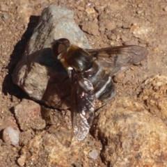 Villa sp. (genus) (Unidentified Villa bee fly) at Mount Painter - 23 Dec 2018 by Christine