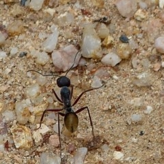 Camponotus suffusus (Golden-tailed sugar ant) at Brogo, NSW - 20 Dec 2018 by MaxCampbell