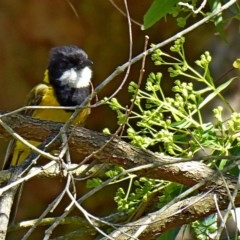 Pachycephala pectoralis (Golden Whistler) at Brogo, NSW - 24 Dec 2018 by MaxCampbell