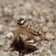 Hypoblemum griseum (A jumping spider) at Spence, ACT - 24 Dec 2018 by Laserchemisty