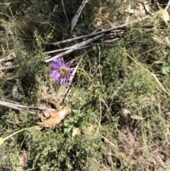 Brachyscome spathulata (Coarse Daisy, Spoon-leaved Daisy) at Namadgi National Park - 23 Dec 2018 by JasonC
