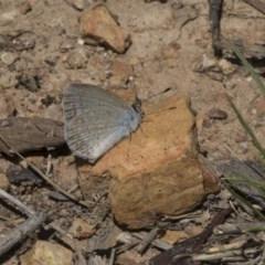 Zizina otis (Common Grass-blue) at Gossan Hill - 22 Dec 2018 by Alison Milton