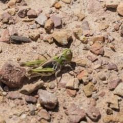 Austroicetes sp. (genus) (A grasshopper) at Gossan Hill - 22 Dec 2018 by Alison Milton