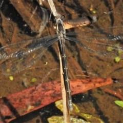 Austroargiolestes icteromelas (Common Flatwing) at Rendezvous Creek, ACT - 24 Dec 2018 by JohnBundock