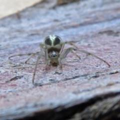 Deliochus pulcher (Beautiful Deliochus spider) at Macarthur, ACT - 26 Dec 2018 by RodDeb