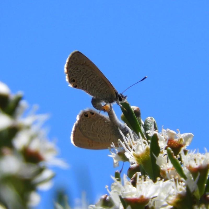 Nacaduba biocellata at Kambah, ACT - 24 Dec 2018