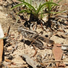 Oedaleus australis (Australian Oedaleus) at Mount Taylor - 24 Dec 2018 by MatthewFrawley