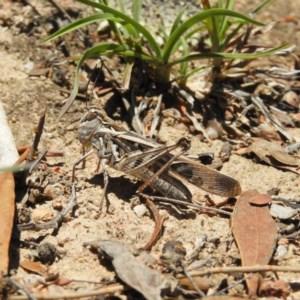 Oedaleus australis at Mount Taylor - 24 Dec 2018