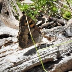 Geitoneura klugii (Marbled Xenica) at Namadgi National Park - 26 Dec 2018 by JohnBundock