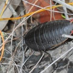 Polyzosteria aenea (Pink-tailed heath cockroach) at Jerrawangala National Park - 23 Dec 2018 by Harrisi